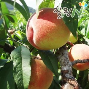 털복숭아4.5kg(19~20과) /달콤한 유혹 복숭아
