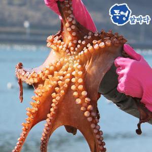 [통영앞바다]통영 돌문어 500g/1~2마리