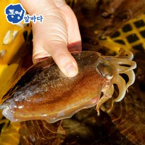 [통영앞바다]싱싱함이 살아있는 그대로 급냉시킨 갑오징어 500g (2미 내외)