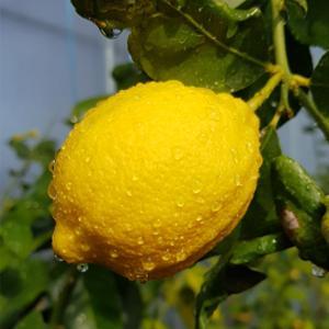 레모닝 제주 레몬 1.5kg